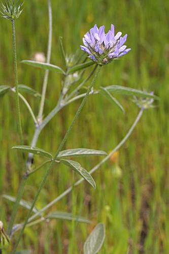 Bituminaria bituminosa (L.) C.H. Stirt.