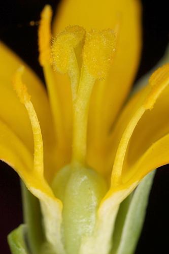 Blackstonia perfoliata (L.) Huds.