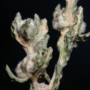 Bombycilaena erecta (L.) Smolj.