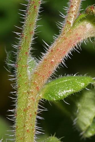 Borago officinalis L.