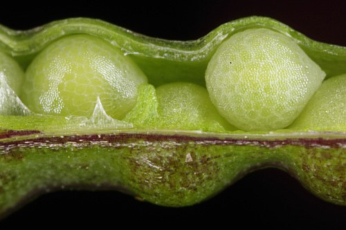 Brassica barrelieri (L.) Janka