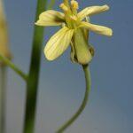 Brassica oxyrrhina Coss.