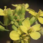 Brassica repanda subsp. confusa (Emb. & Maire) Heywood