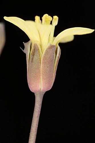 Brassica tournefortii Gouan