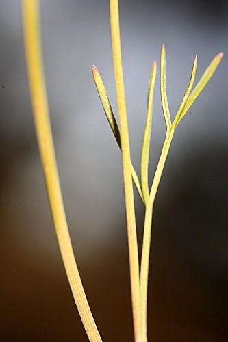 Bunium macuca Boiss.