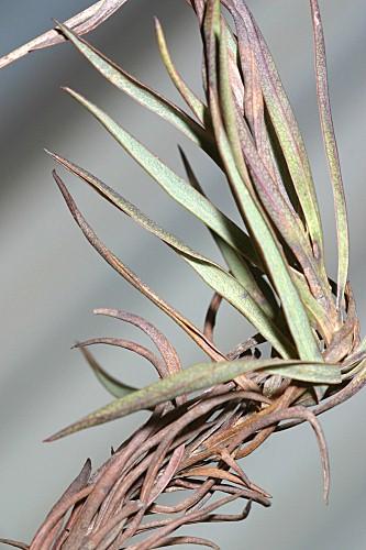Bupleurum foliosum Salzm. ex DC.