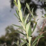 Bupleurum fruticosum L.