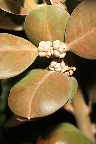 Buxus sempervirens L.