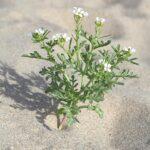Cakile maritima subsp. maritima Scop.