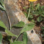 Calendula suffruticosa subsp. tomentosa Murb.
