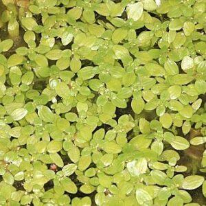 Callitriche stagnalis Scop
