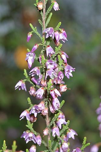 Calluna vulgaris (L.) Hull