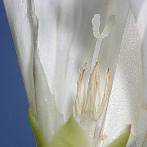 Calystegia sepium (L.) R. Br.