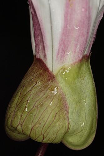 Calystegia silvatica subsp. silvatica (Kit.) Griseb.
