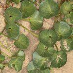 Calystegia soldanella (L.) R. Br.