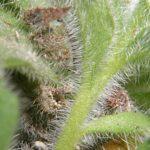 Campanula mollis L.