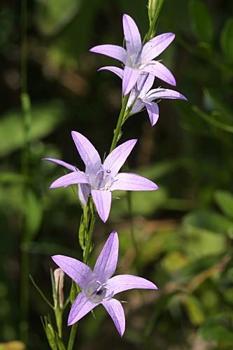 Campanula rapunculus L.