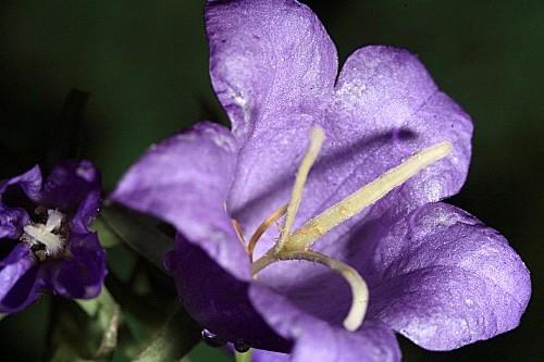 Campanula affinis Schult.