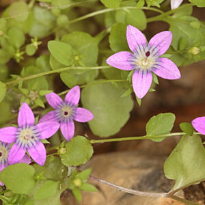 Campanula specularioides Coss.