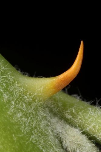Capparis spinosa L.