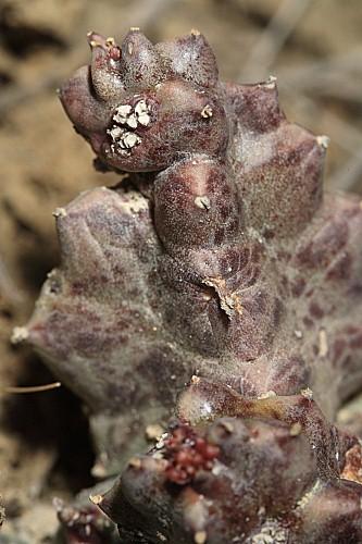 Caralluma europaea (Guss.) N. E. Br.