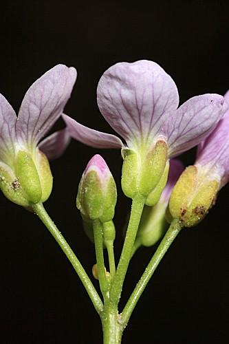Cardamine raphanifolia Pourr.