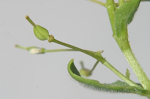 Cardaria draba subsp. draba (L.) Desv.