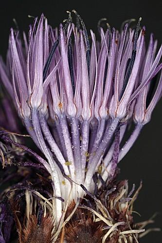 Carduncellus caeruleus (L.) C. Presl