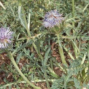Carduncellus cuatrecasasii G. López