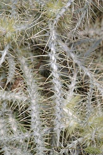 Carduus carlinoides subsp. hispanicus (Kazmi) Franco