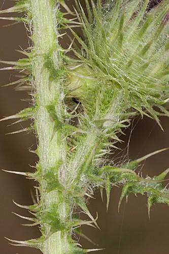 Carduus myriacanthus DC.