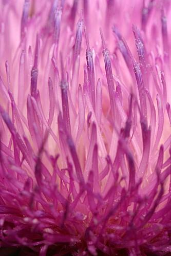Carduus platypus subsp. granatensis (Willk.) Nyman