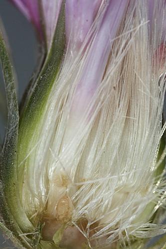 Carduus pycnocephalus L.