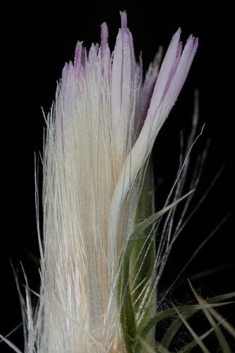 Carduus tenuiflorus Curtis