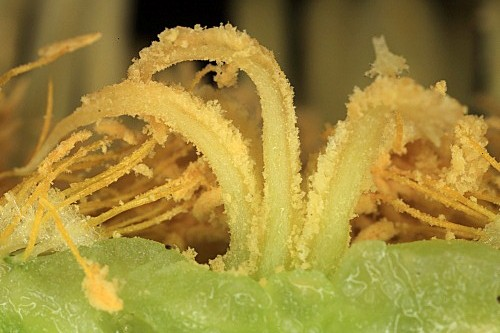 Carpobrotus edulis (L.) N. E. Br.