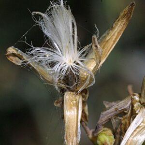Carthamus arborescens L.