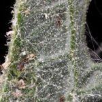 Carthamus lanatus L.