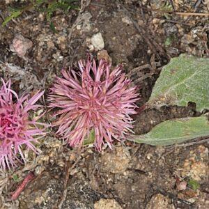 Centaurea amblensis Graells