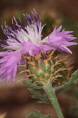 Centaurea barrasii Pau