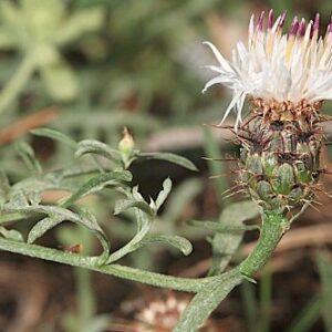 Centaurea boissieri subsp. boissieri DC.