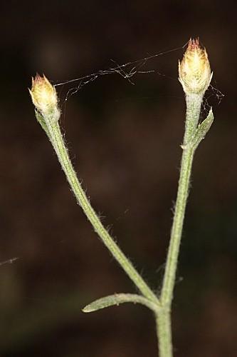 Centaurea castellanoides Talavera