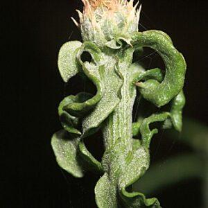 Centaurea citricolor Font Quer