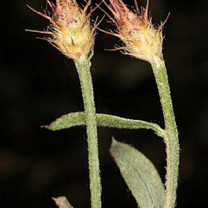 Centaurea cordubensis Font Quer
