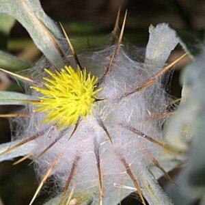 Centaurea eriophora L.