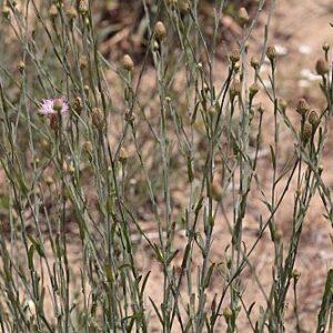Centaurea exarata Boiss. ex Coss.