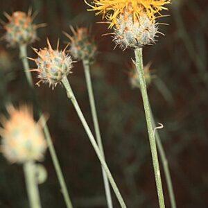 Centaurea gabrielis-blancae Fern. Casas