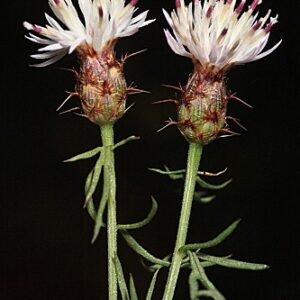 Centaurea gadorensis Blanca