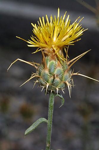 Centaurea granatensis Boiss.