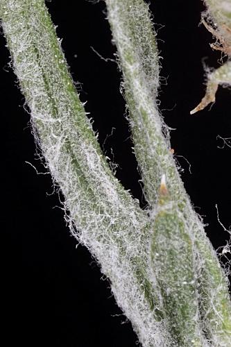 Centaurea hyssopifolia Vahl