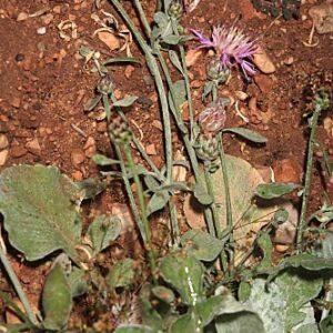 Centaurea jaennensis Degen & Debeaux